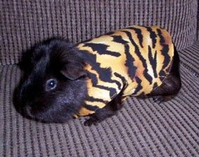 Guini pig coats 1