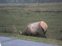 Elk_002