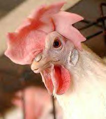Chickenhead_1