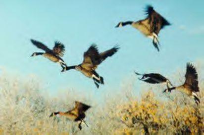 Flyinggeeserealpic