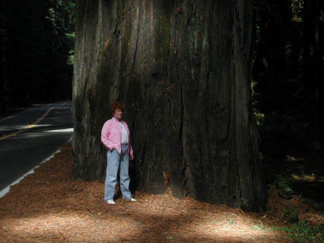 Juneredwoodtree_1