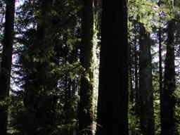 Redwood1_1