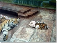 Tiger_and_pigs