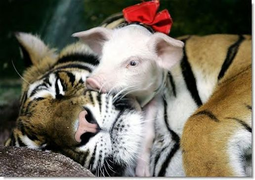 Tiger_mom_and_piglet_1